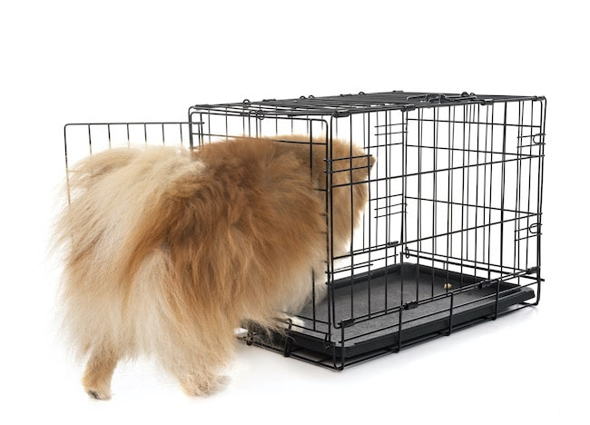 Pomeranian getting into a crate by itself