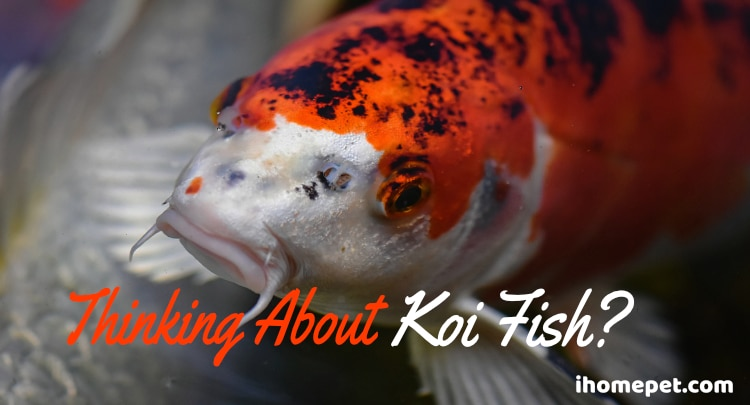Thinking About Koi Fish