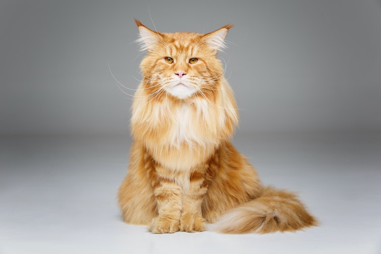 Beautiful older maine coon cat posting