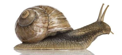 Crawling common roman snail