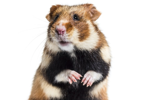 Cute European Hamster for your collegedorm