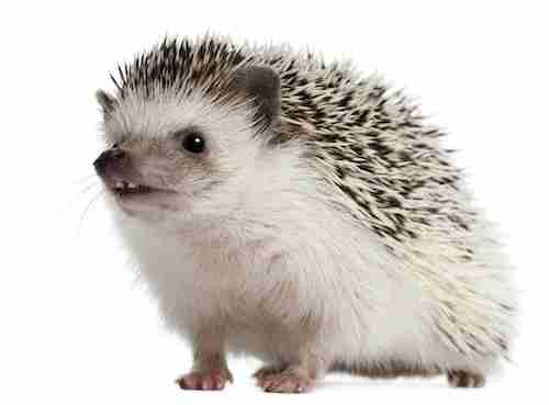 A white Four-toed Hedgehog are nice dowm pets