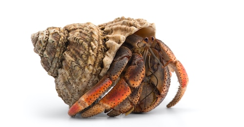 Picture of a Hermit crab are good dorm pets