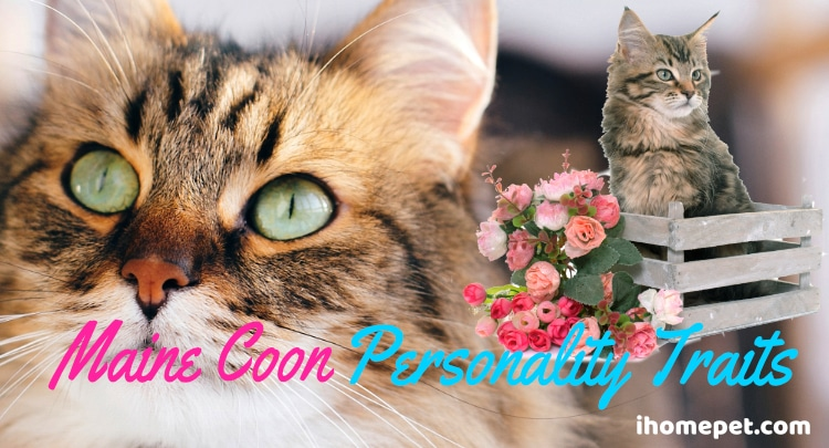 Maine Coon Personality Traits