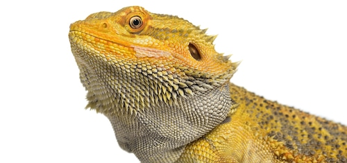 A Lizard looking directly at you