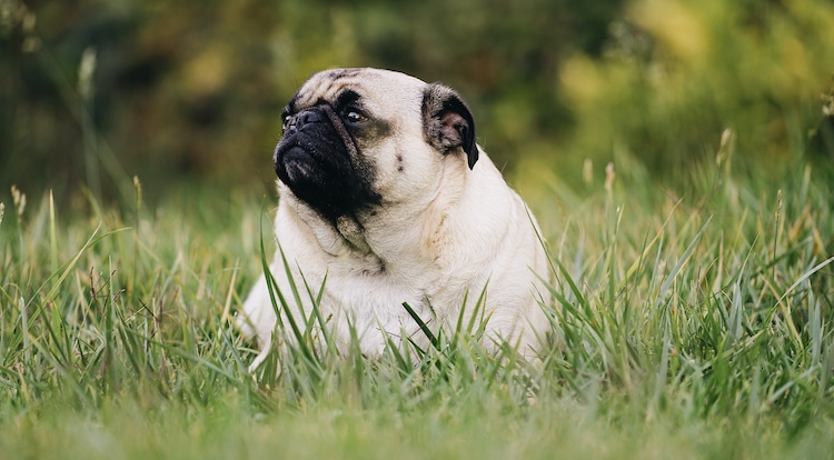 Pug that is just sitting at the park