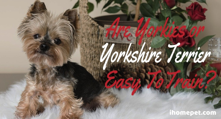 Are Yorkies Easy To Train?